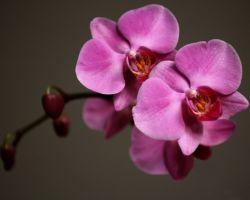 Орхидея - прекрасный и чарующий цветок